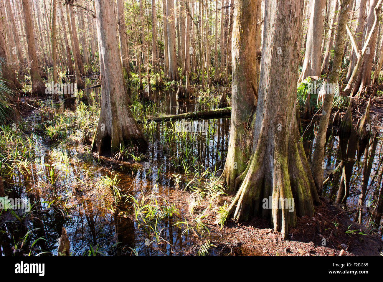 Bald cypress trees in the Highland Hammocks State Park, Florida. - Stock Image