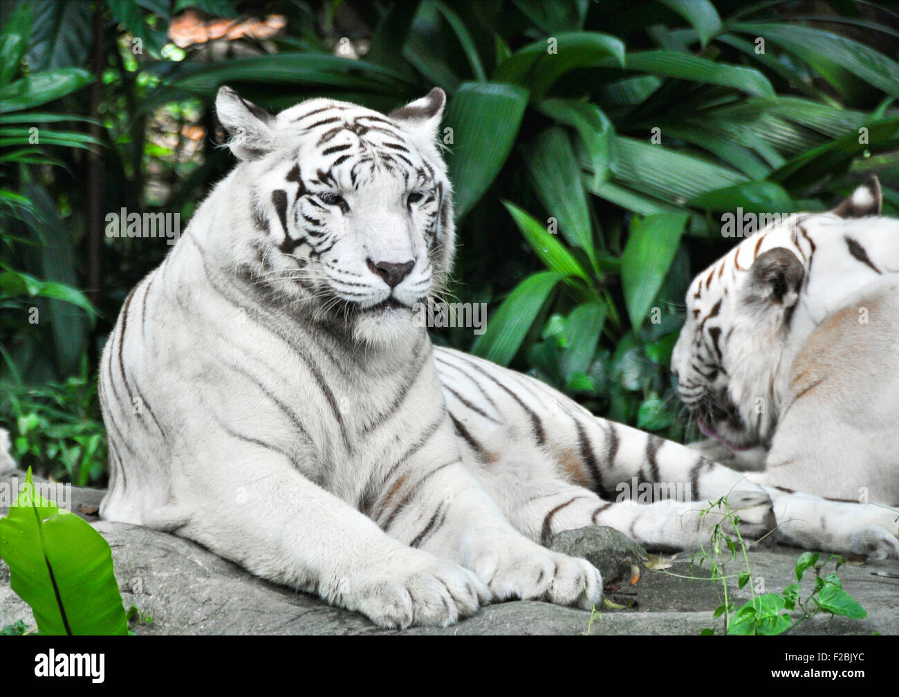 White tiger resting in the heat. - Stock Image