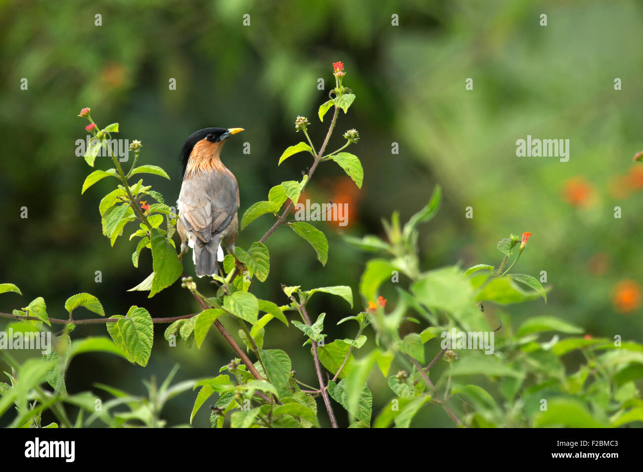 The brahminy myna or brahminy starling (Sturnia pagodarum) is a member of the starling family of birds. It is usually - Stock Image