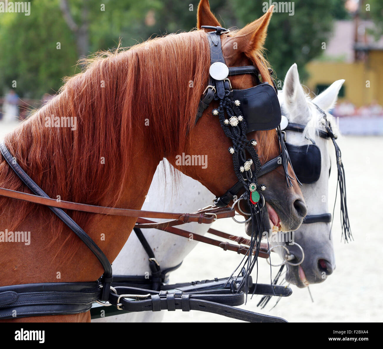 . Head shot of a harnessed horses with blinds. Heads of two thoroughbred horses in harnesses - Stock Image