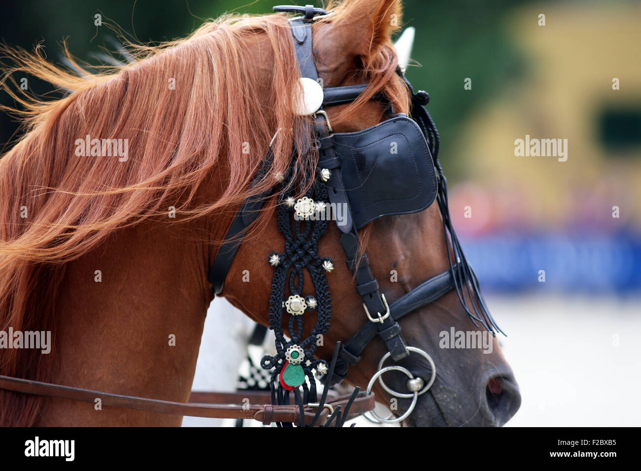 Face of a beautiful purebred horse with trappings. Side view portraits of a thoroughbred horse in harnesses - Stock Image