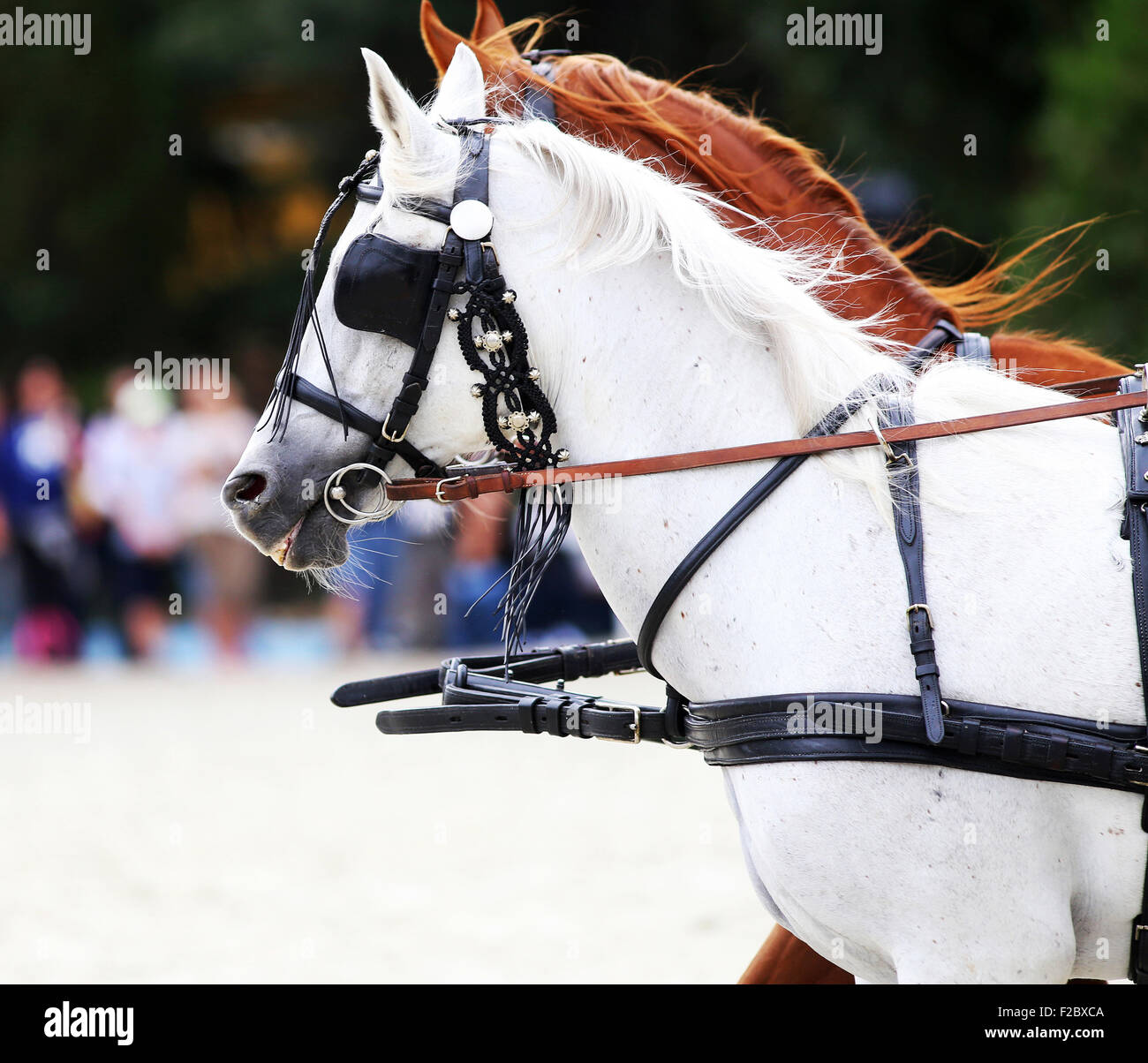Head shot of a harnessed horses with blinds. Side view portraits of two thoroughbred horses in harnesses - Stock Image