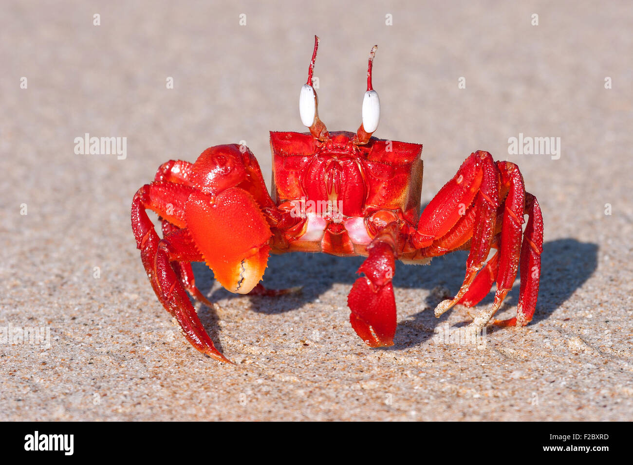 Red crab (Brachyura) on the beach of Ngapali Beach, Ngapali, Thandwe, Rakhine State, Myanmar - Stock Image