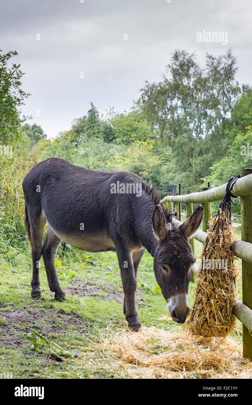 Chocolate brown donkey eating barley straw. Stock Photo