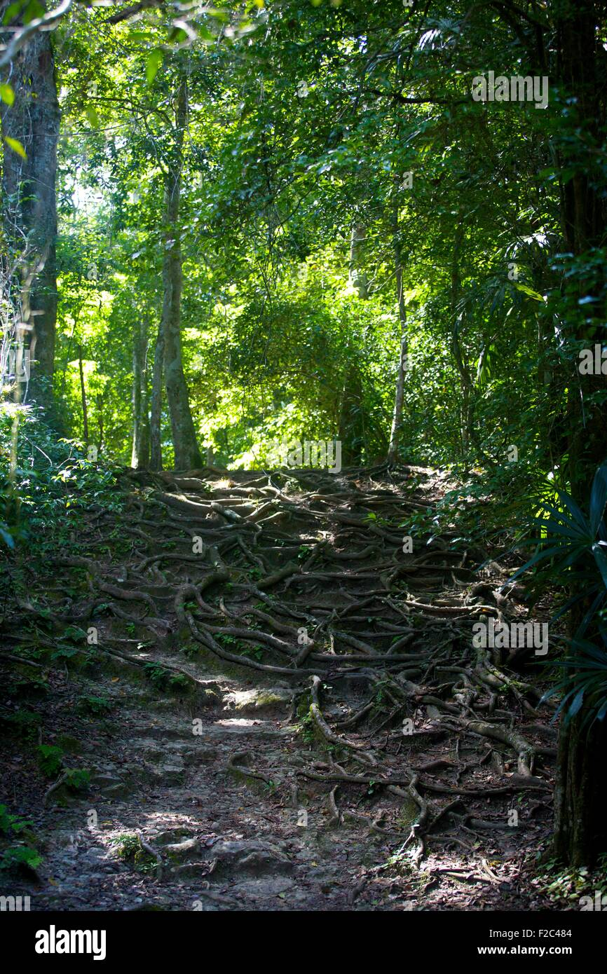 Rainforest path of raised roots in Tikal National Park, Guatemala - Stock Image