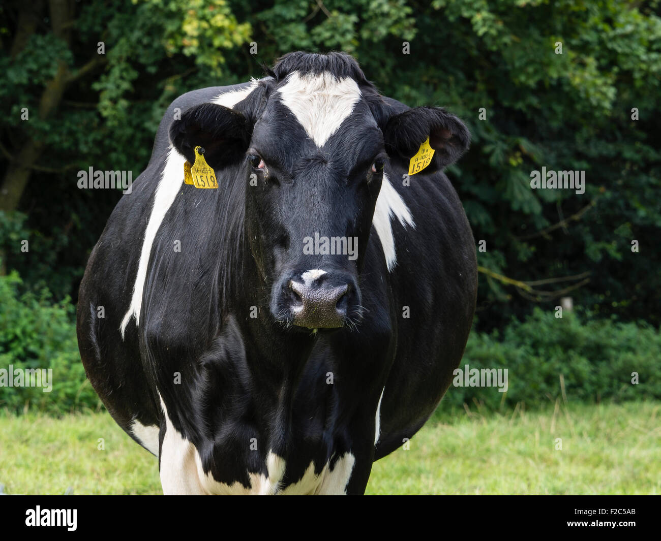 Cow Portrait in a Field with Ear Tags, Dorset, England, UK - Stock Image