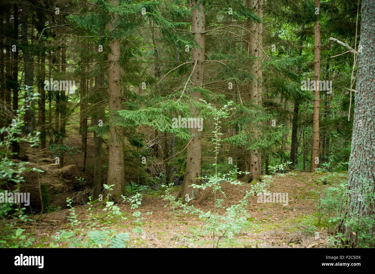 sweden swedish forest pine tree trees timber industry tall dense thick managed sustainable forestry - Stock Image