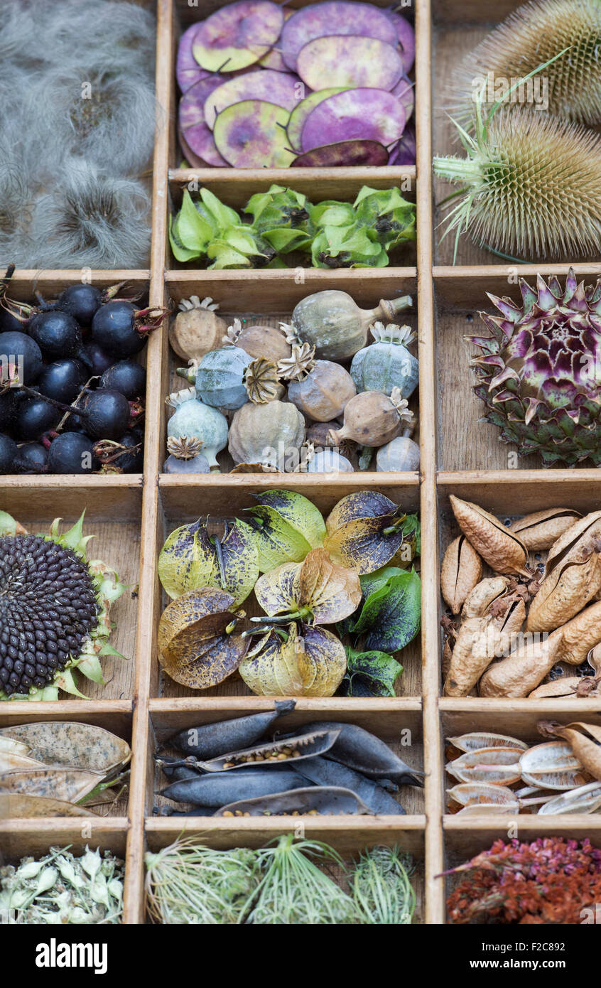 Collection of dried flower seed pods and seeds from the garden in a wooden tray - Stock Image