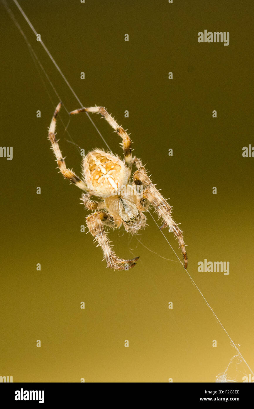 Common Orb Spider on a web thread - Stock Image