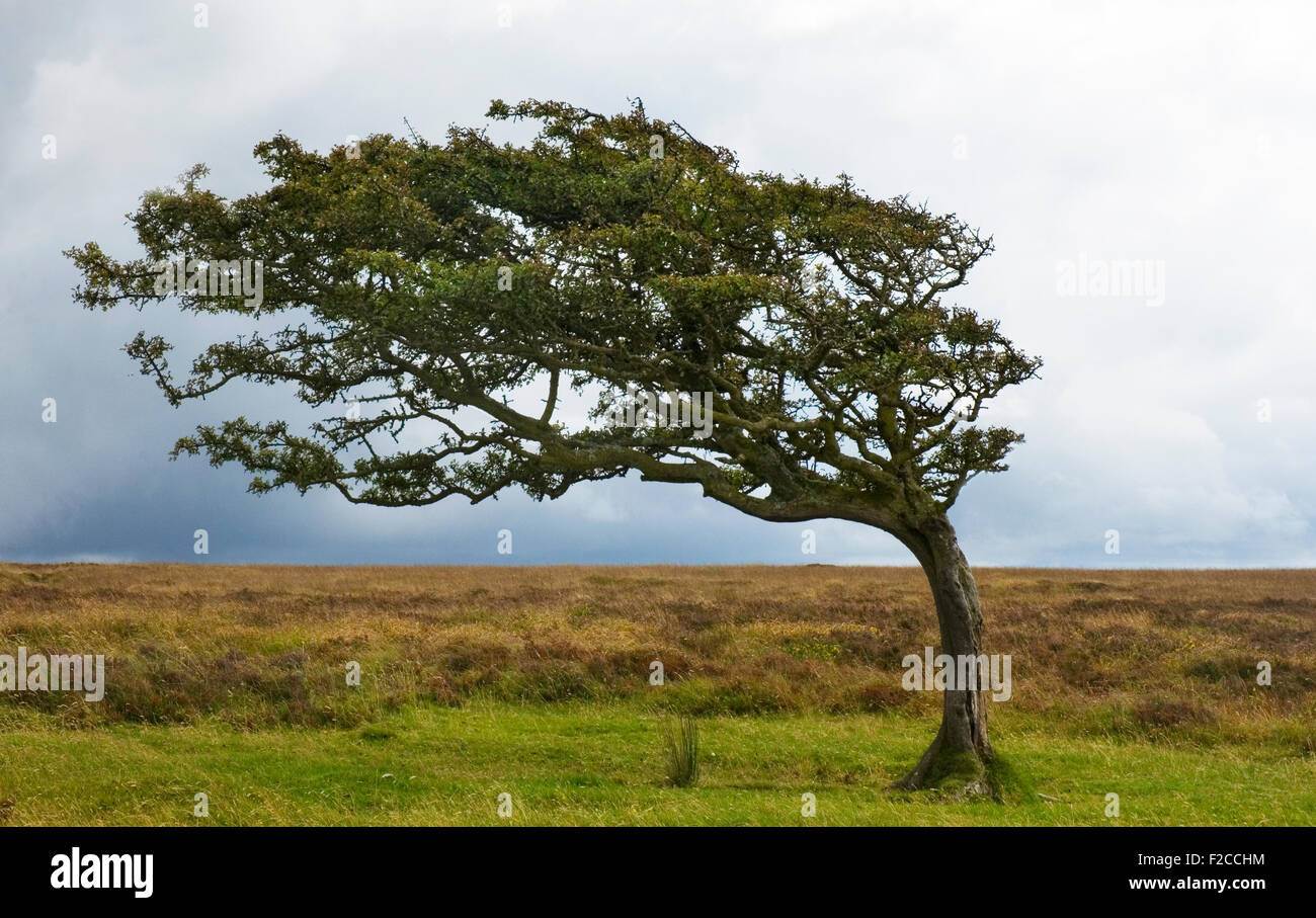 Windswept tree on Exmoor, single May tree bent by the prevailing wind, tree, windswept, moorland. - Stock Image