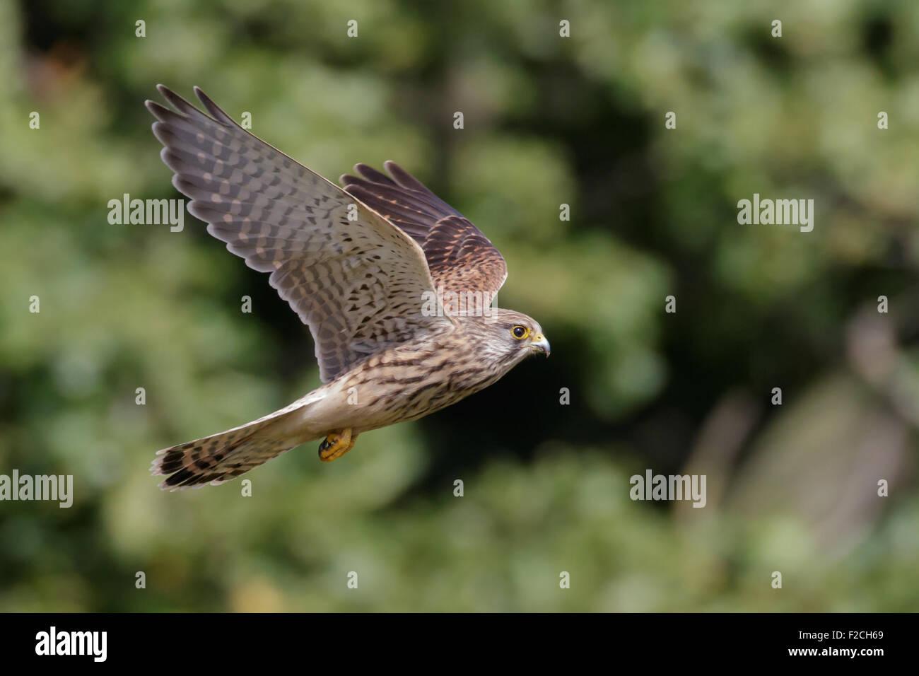 Common Kestrel (Falco tinnunculus) flying against trees Stock Photo