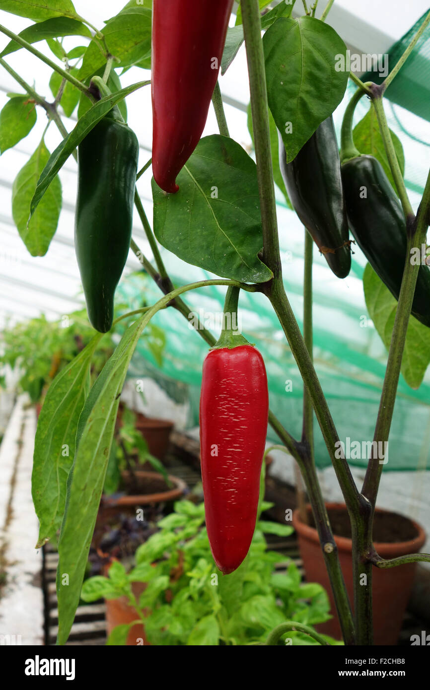 Chile Japaleno Capsicum annuum red green peppers - Stock Image