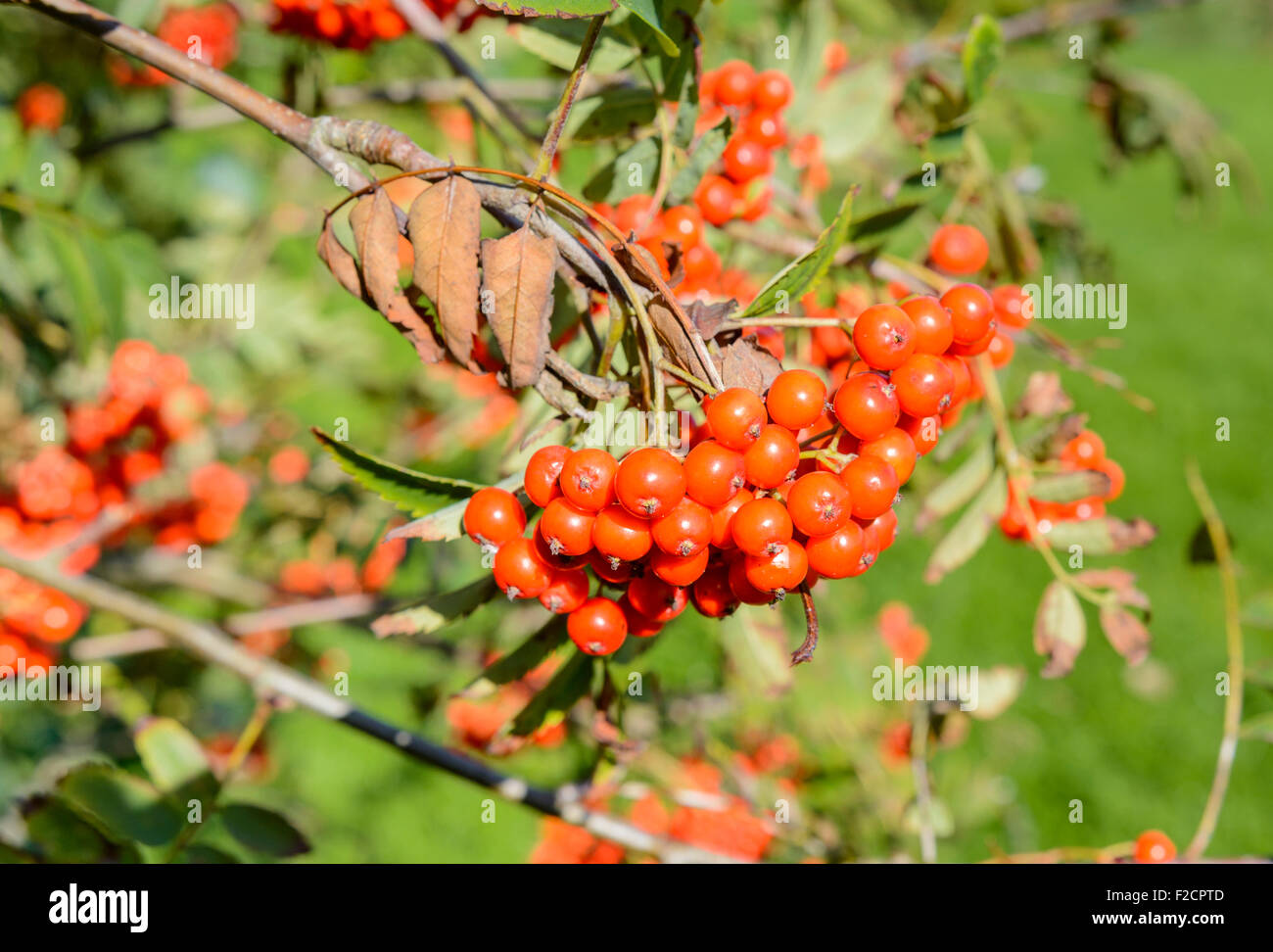 Sorbus aucuparia. Berries from a Mountain Ash tree (Rowan Tree) in early Autumn in the UK. - Stock Image