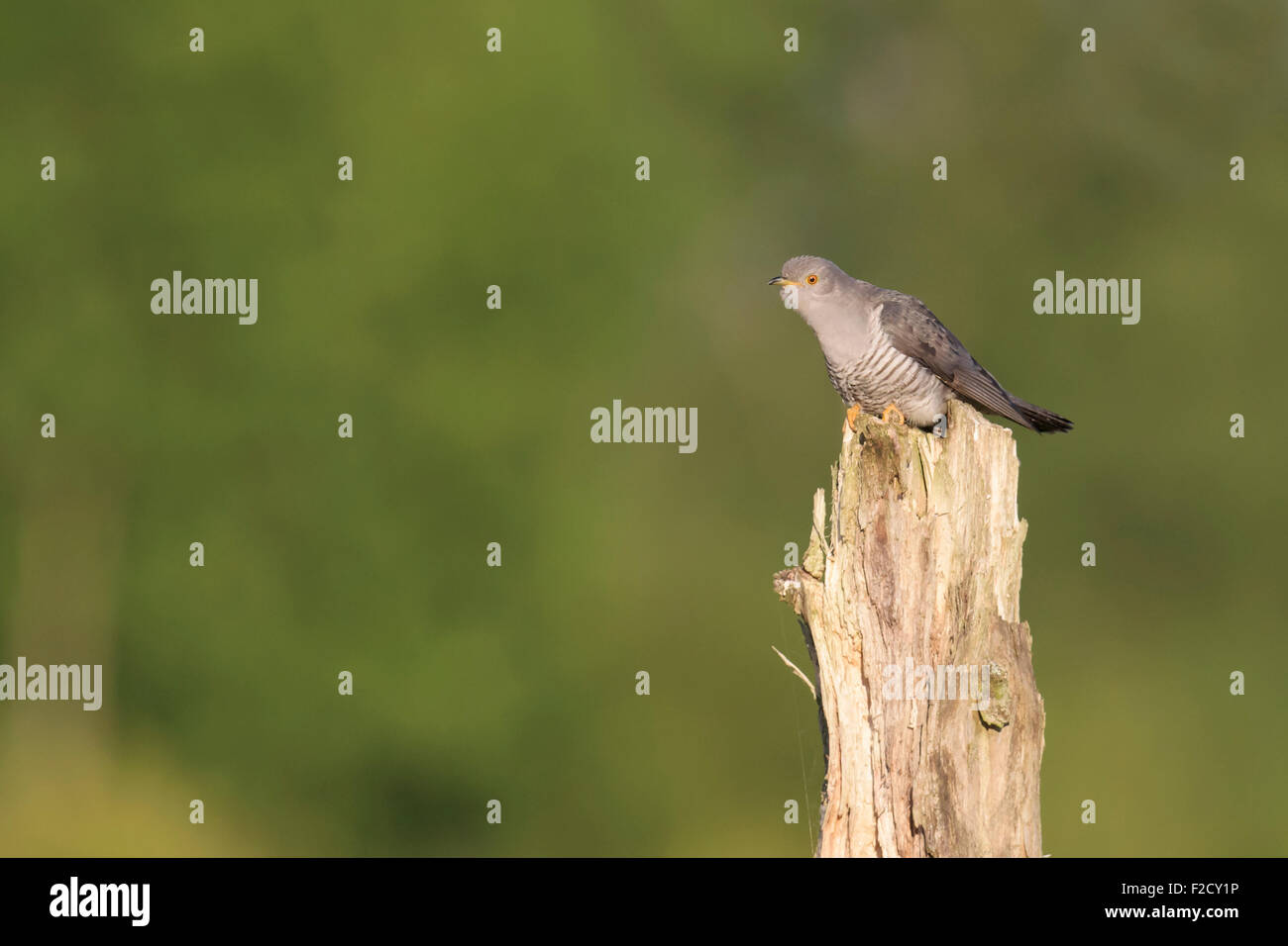 Cuckoo (Cuculus canorus) perched on tree stump calling - Stock Image