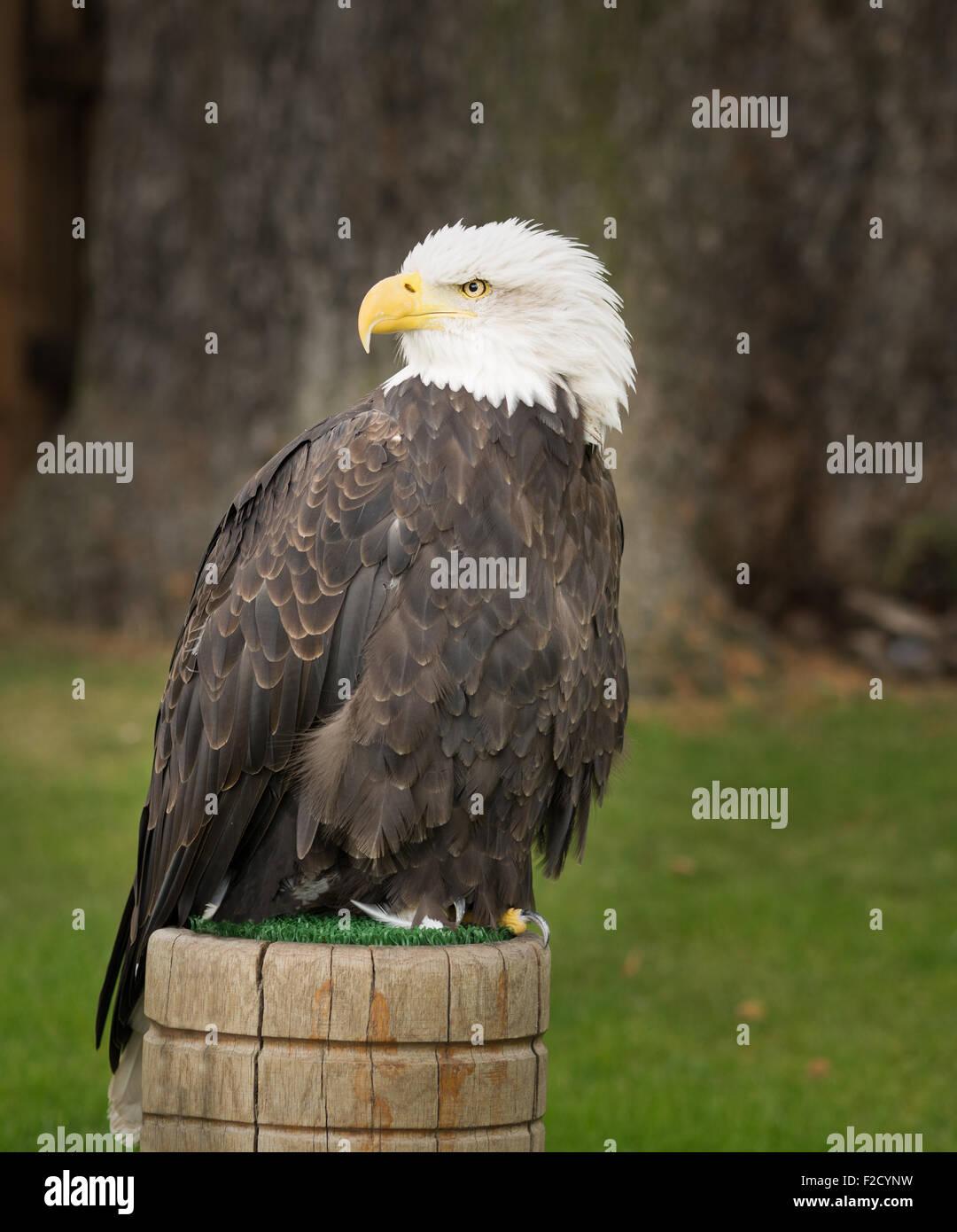 Bald Eagle National Symbol Of The Usa Stock Photo 87566357 Alamy