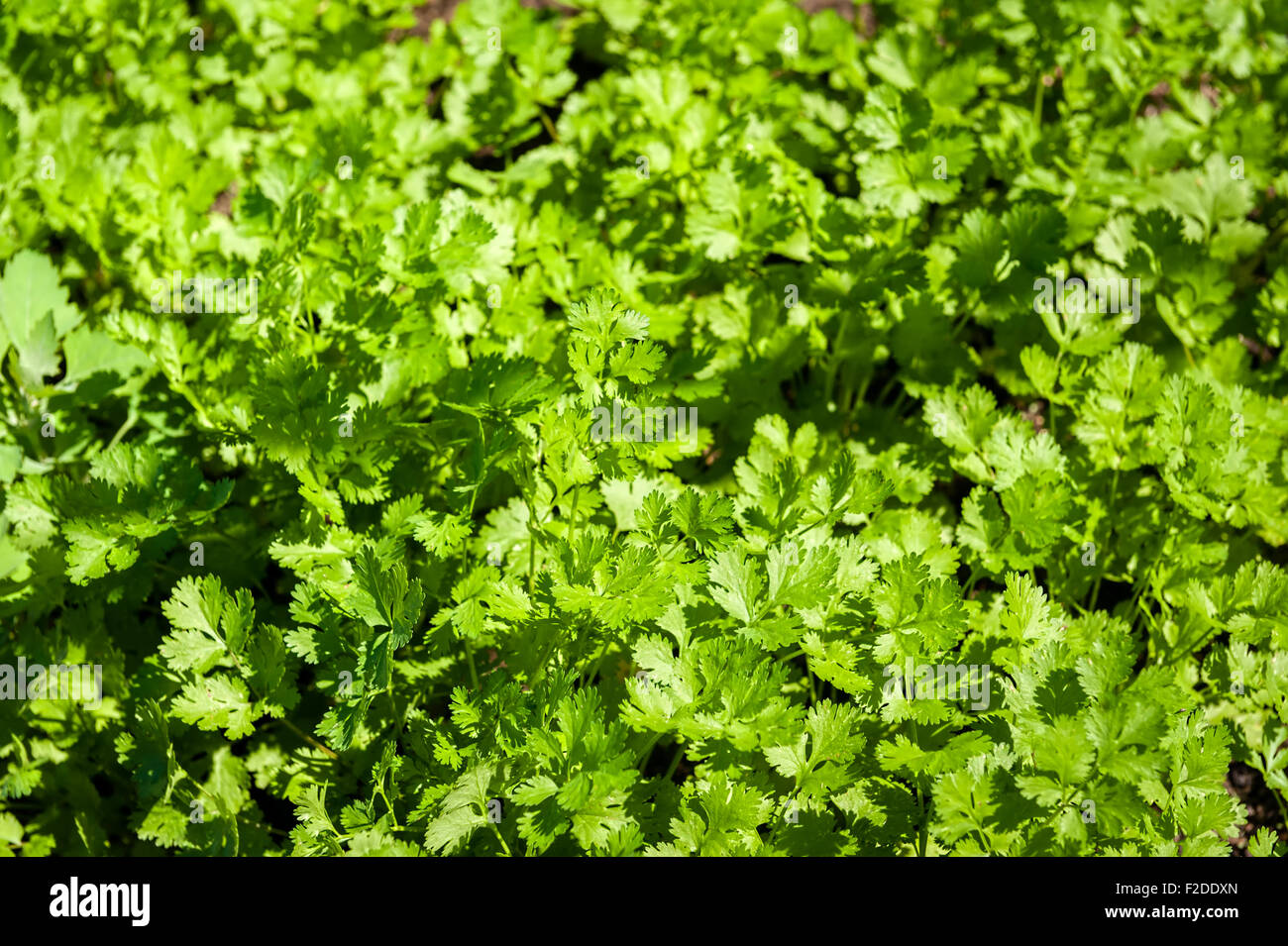 Cilantro patch in the garden. - Stock Image