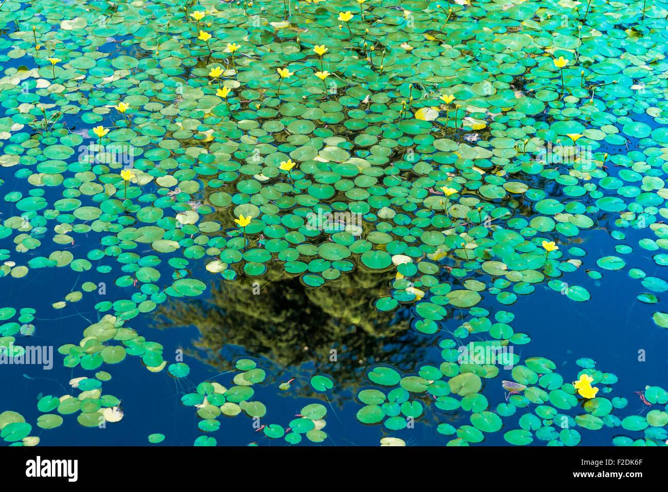 water lilies, VanDusen Gardens, Vancouver, British Columbia, Canada - Stock Image