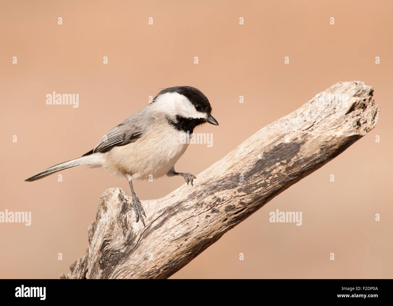 Carolina Chickadee on a dry limb against muted winter background - Stock Image