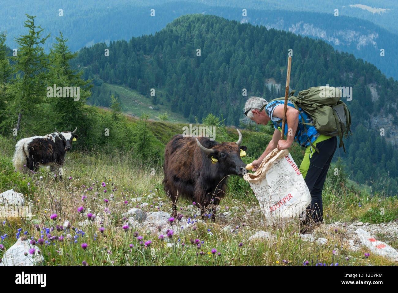 Shepherd feeding yak, yak herd on Monte Rite, Museum Dolomites, Museum in the clouds, belonging to Messner Mountain - Stock Image