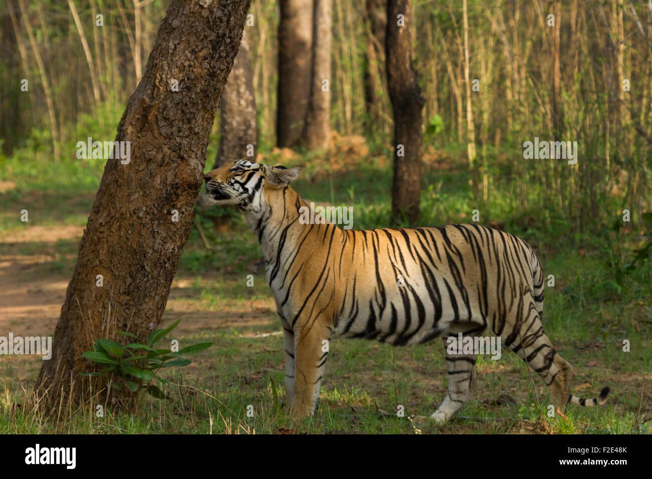 Royal Bengal Tiger or Panthera Tigris doing Scent marking at Tadoba National Park, Maharashtra, India - Stock Image