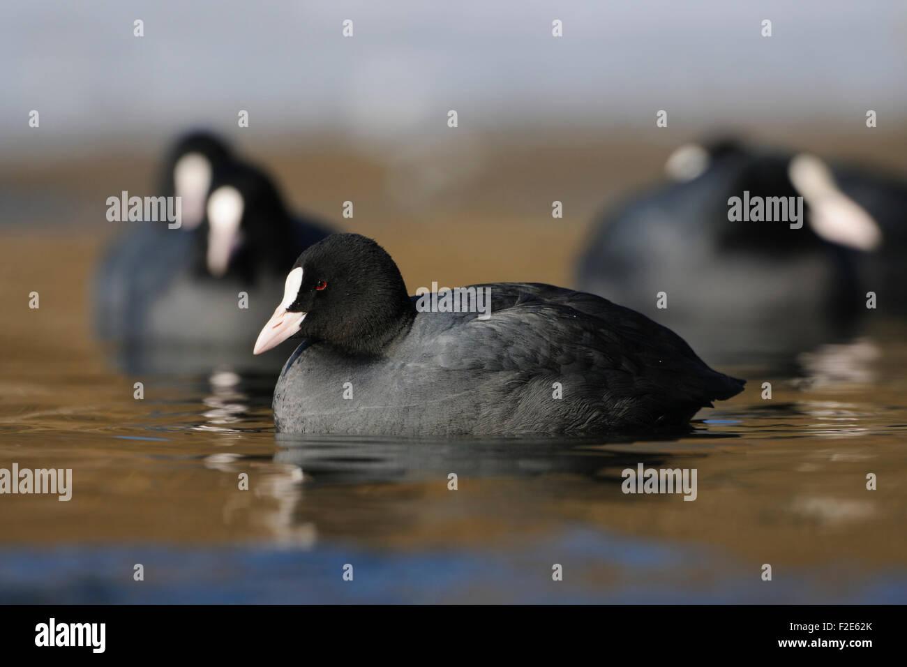 A flock of Fulica atra / Black Coot / Blaesshuhn / Blaessralle swimming on a frozen lake. - Stock Image