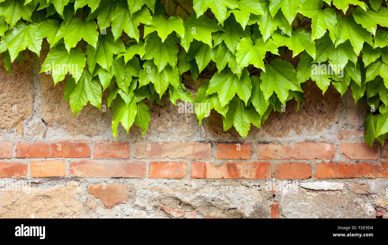 Old brick wall with green ivy climber background - Stock Image