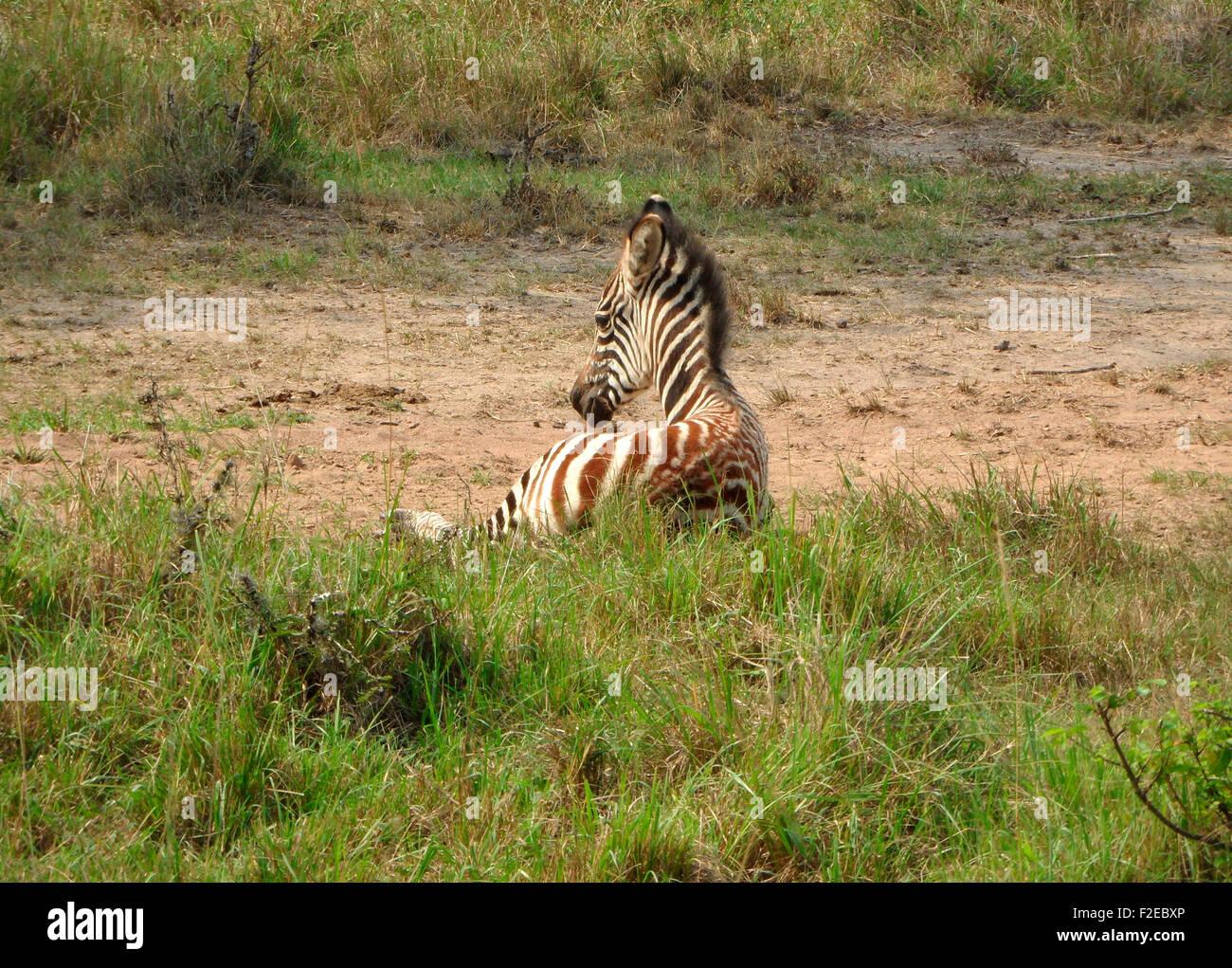 sitzendes Zebra-Baby, Queen Elizabeth National Park, Uganda. - Stock Image