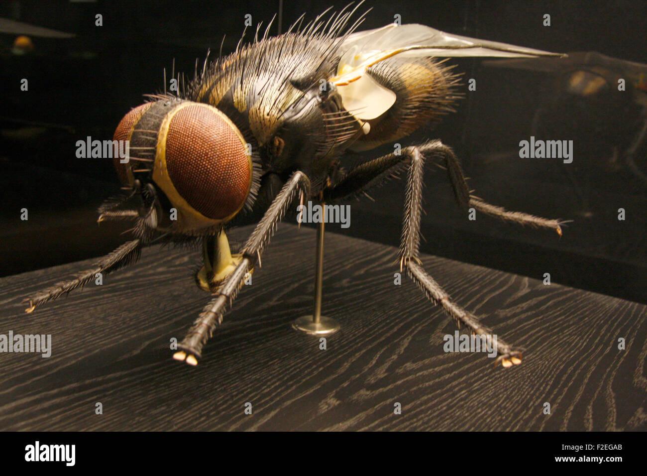 ein Modell einer Stubenfliege - Exponate im Naturhistorischen Museum, Berlin-Mitte. - Stock Image