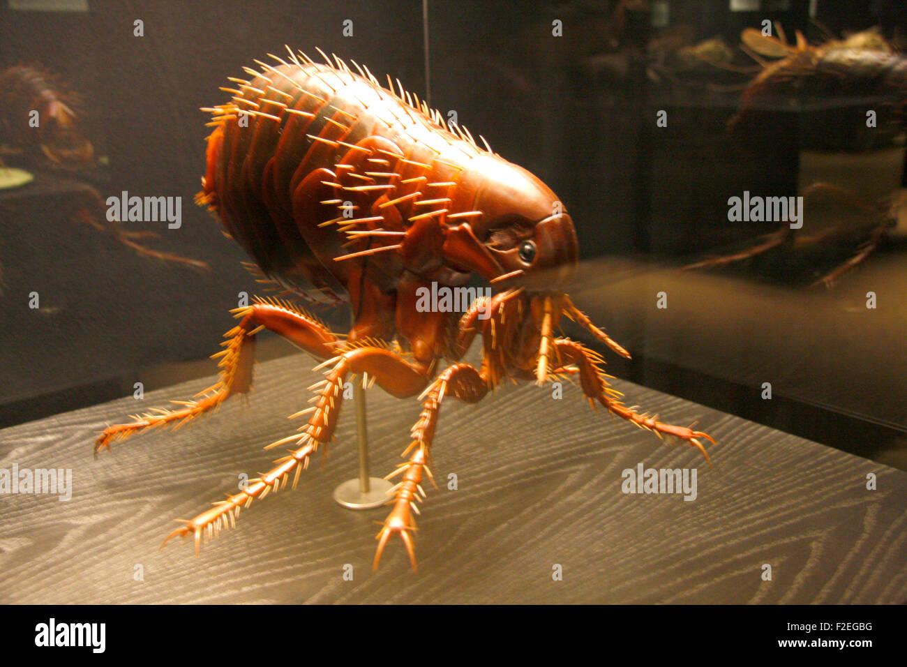 ein Modell eines Menschenflohs - Exponate im Naturhistorischen Museum, Berlin-Mitte. - Stock Image