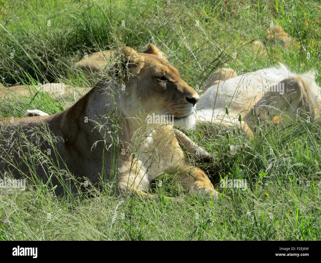 Lions are seen at the Moreson Ranch, a lion breeding ranch in Vrede, South Africa, 10 January 2015. Photo: Sinikka - Stock Image