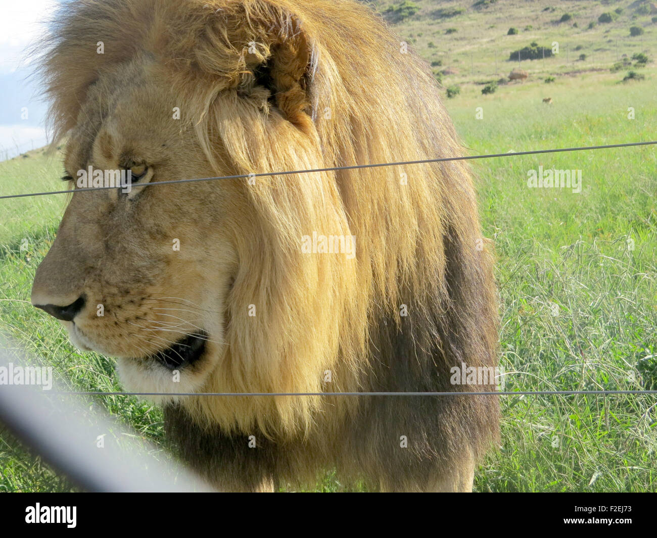 A lion is seen at the Moreson Ranch, a lion breeding ranch in Vrede, South Africa, 10 January 2015. Photo: Sinikka - Stock Image