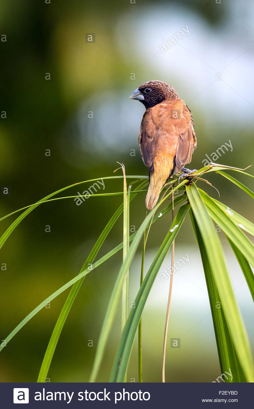 chestnut-breasted mannikin also known as the chestnut-breasted munia or bully bird (Lonchura castaneothorax) Stock Photo
