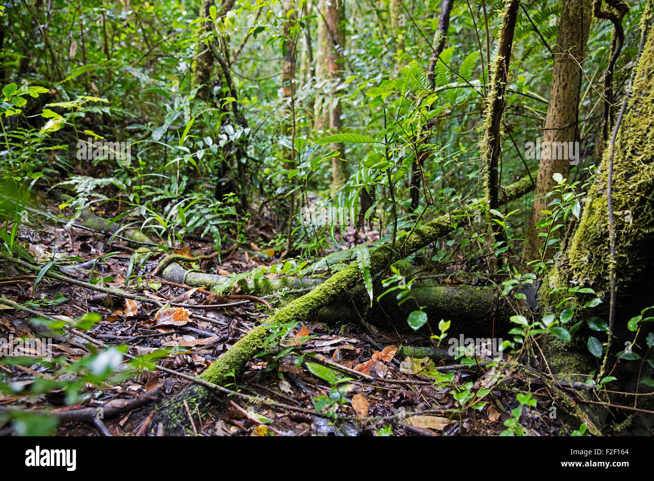 Lush vegetation in tropical rainforest of the Ranomafana National Park, Haute Matsiatra, Madagascar, Southeast Africa - Stock Image
