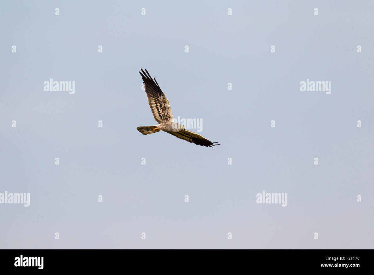 Montagu's harrier (Circus pygargus), male in flight Stock Photo