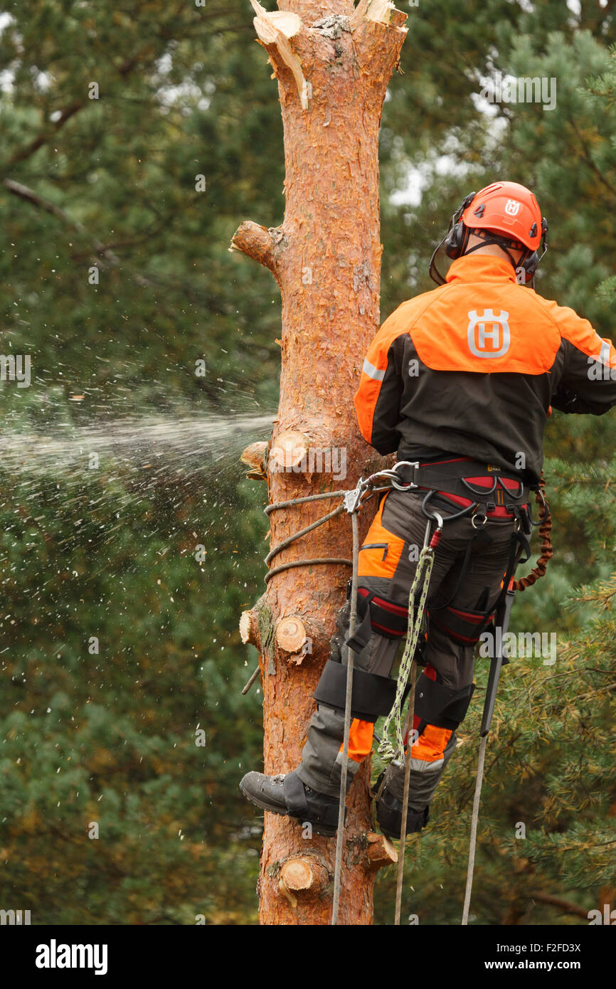 Pine tree being cut down in a confined space by a professional with chain saw, due safety harnesses, and helmet. - Stock Image
