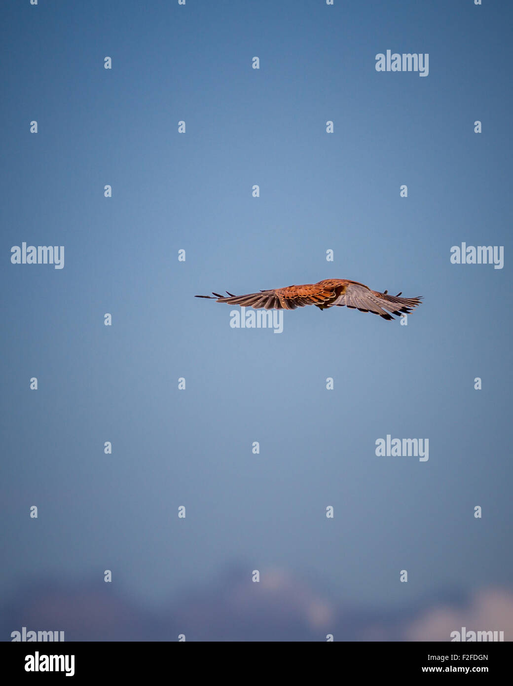 Eye level and above the clouds with a hovering kestrel (Falco tinnunculus) Stock Photo