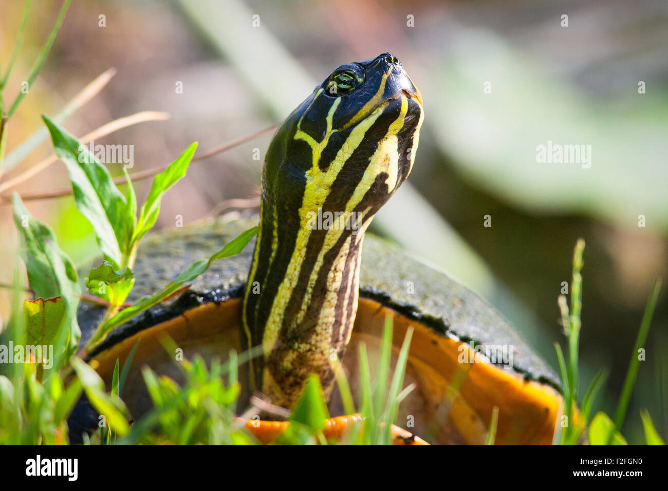 Close-up of a Florida Redbelly Turtle (Pseudemys Nelsoni), Merritt Island, Titusville, Brevard County, Florida, Stock Photo
