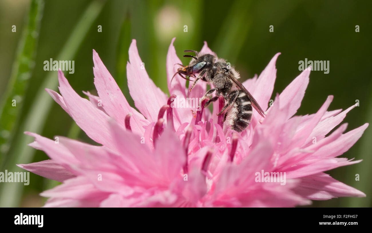 Black and white Anthophora urbana bee pollinating a pink Cornflower in spring - Stock Image