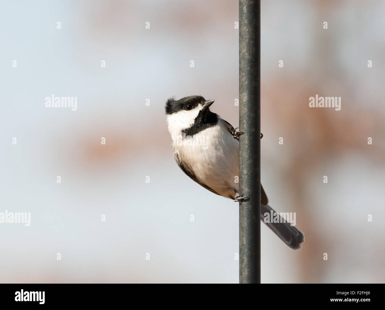 Carolina Chickadee hanging onto a shepherd's hook - Stock Image