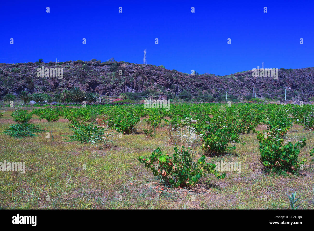 View of Zibibbo plants (Muscat of Alexandria ), white wine