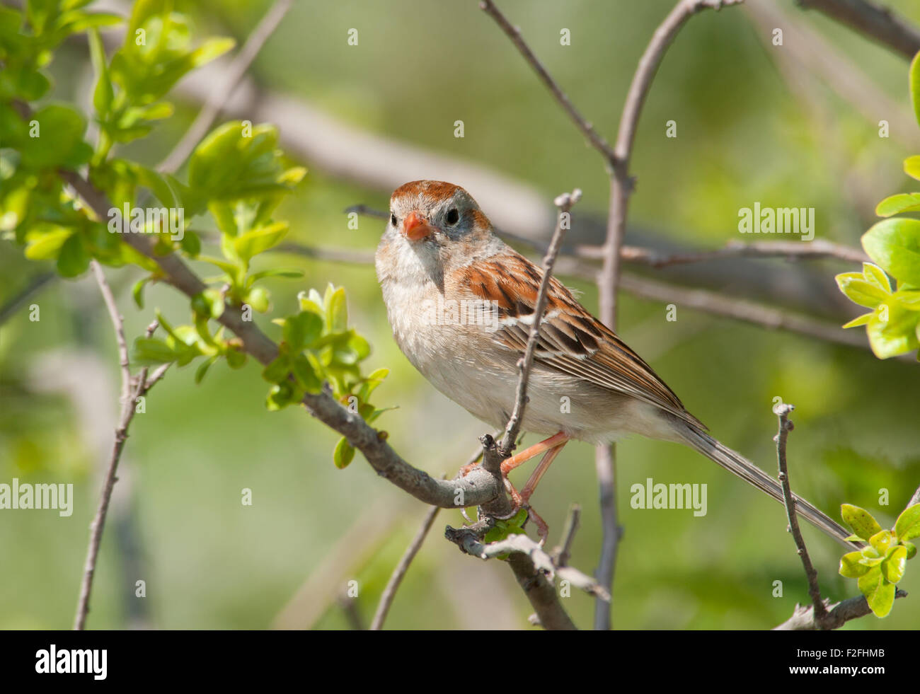 Field Sparrow resting in a bush in spring - Stock Image