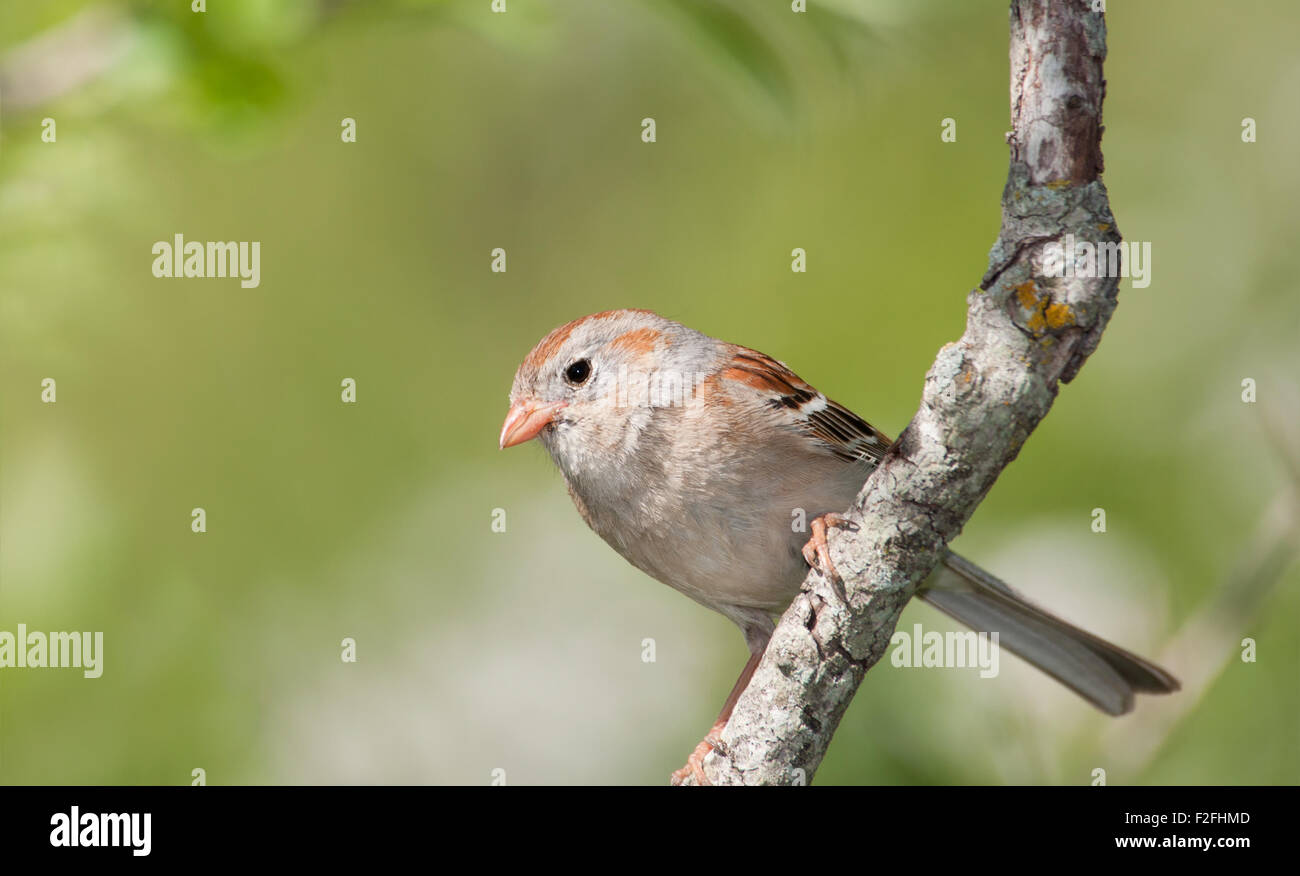 Field Sparrow, Spizella pusilla, perched in a tree in spring - Stock Image