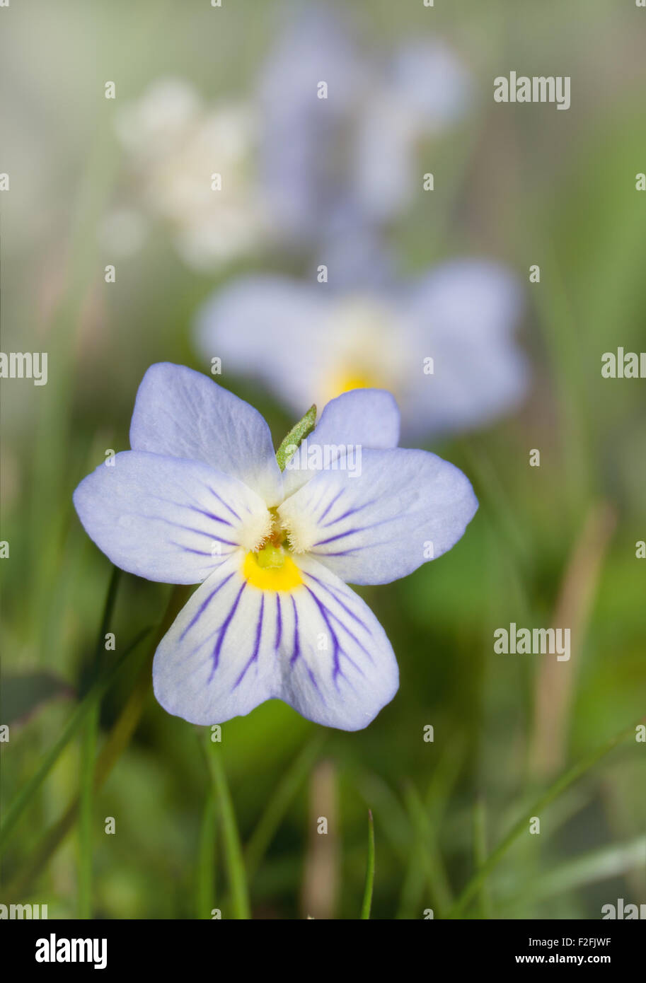 American field pansy,Viola bicolor, in early spring - Stock Image