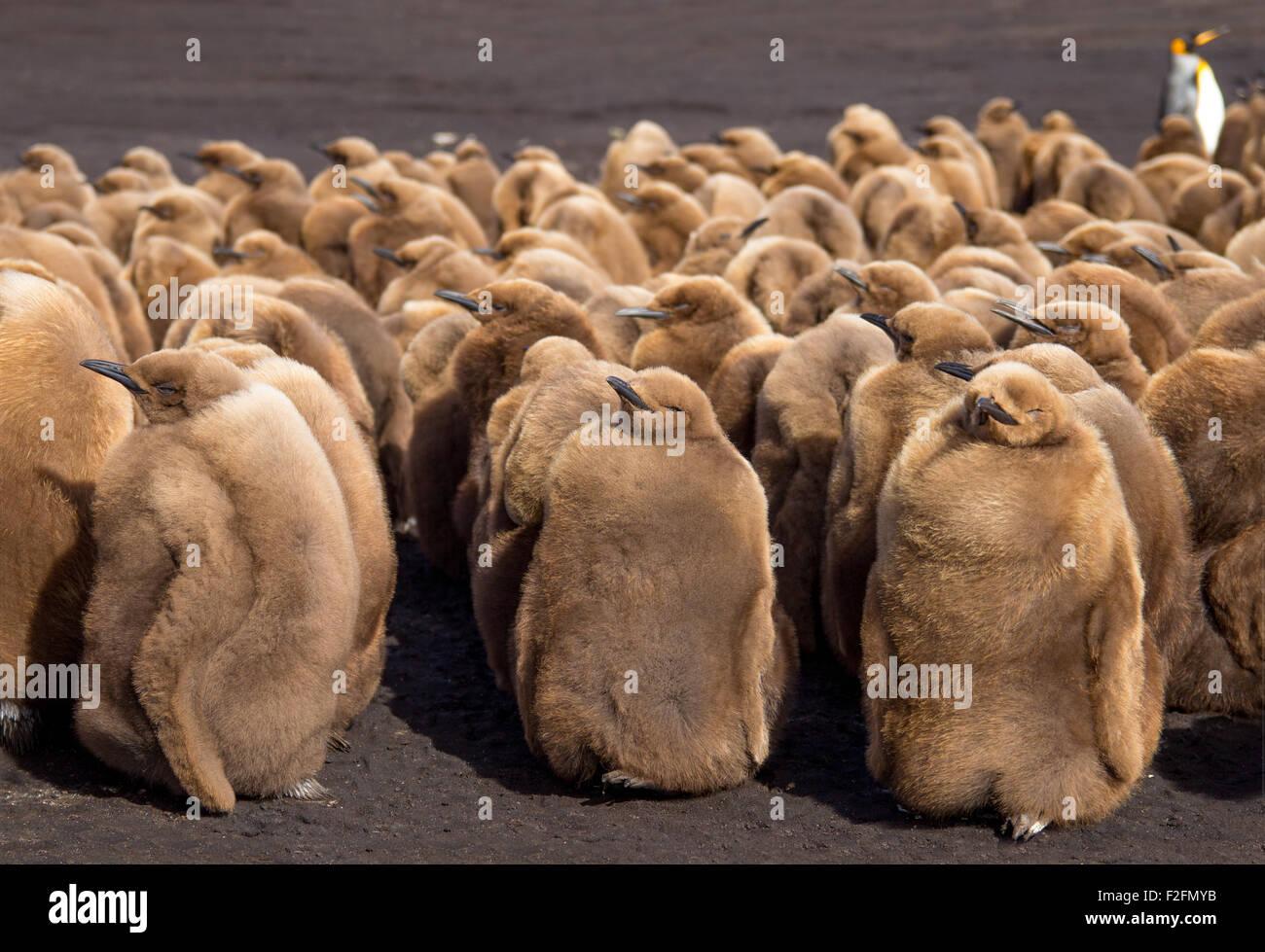 King Penguin Chicks. Volunteer Point, Falkland Islands. - Stock Image