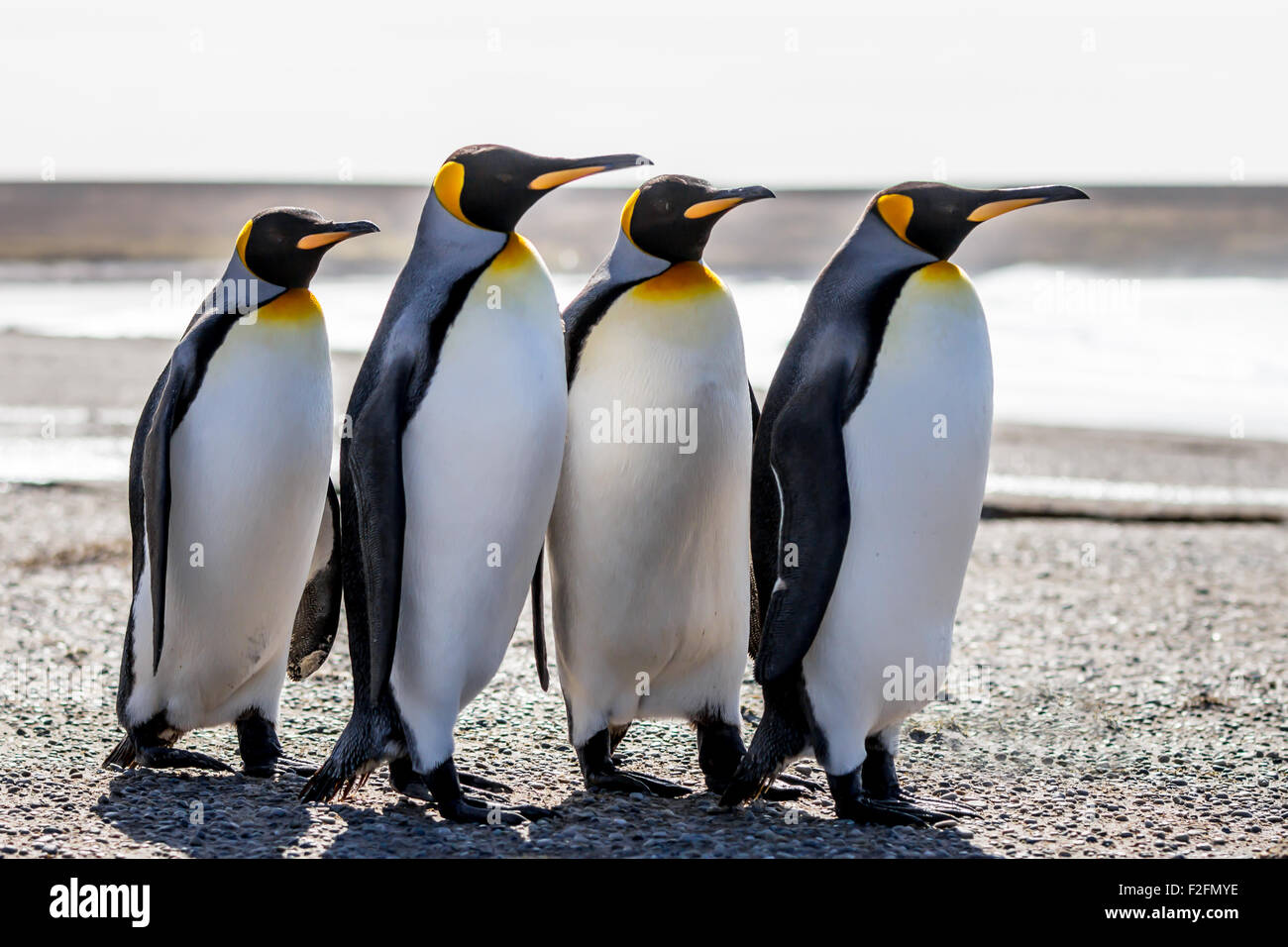 Four King Penguins (Aptenodytes patagonicus) standing together on a beach. Volunteer Point, Falkland Islands. - Stock Image