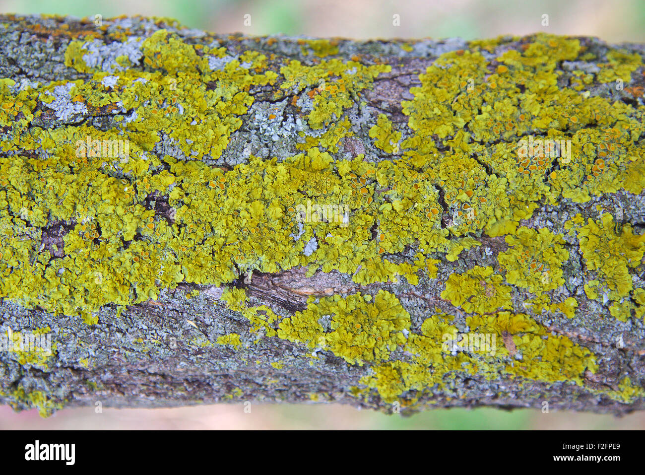 Lichen on a tree branch - Stock Image