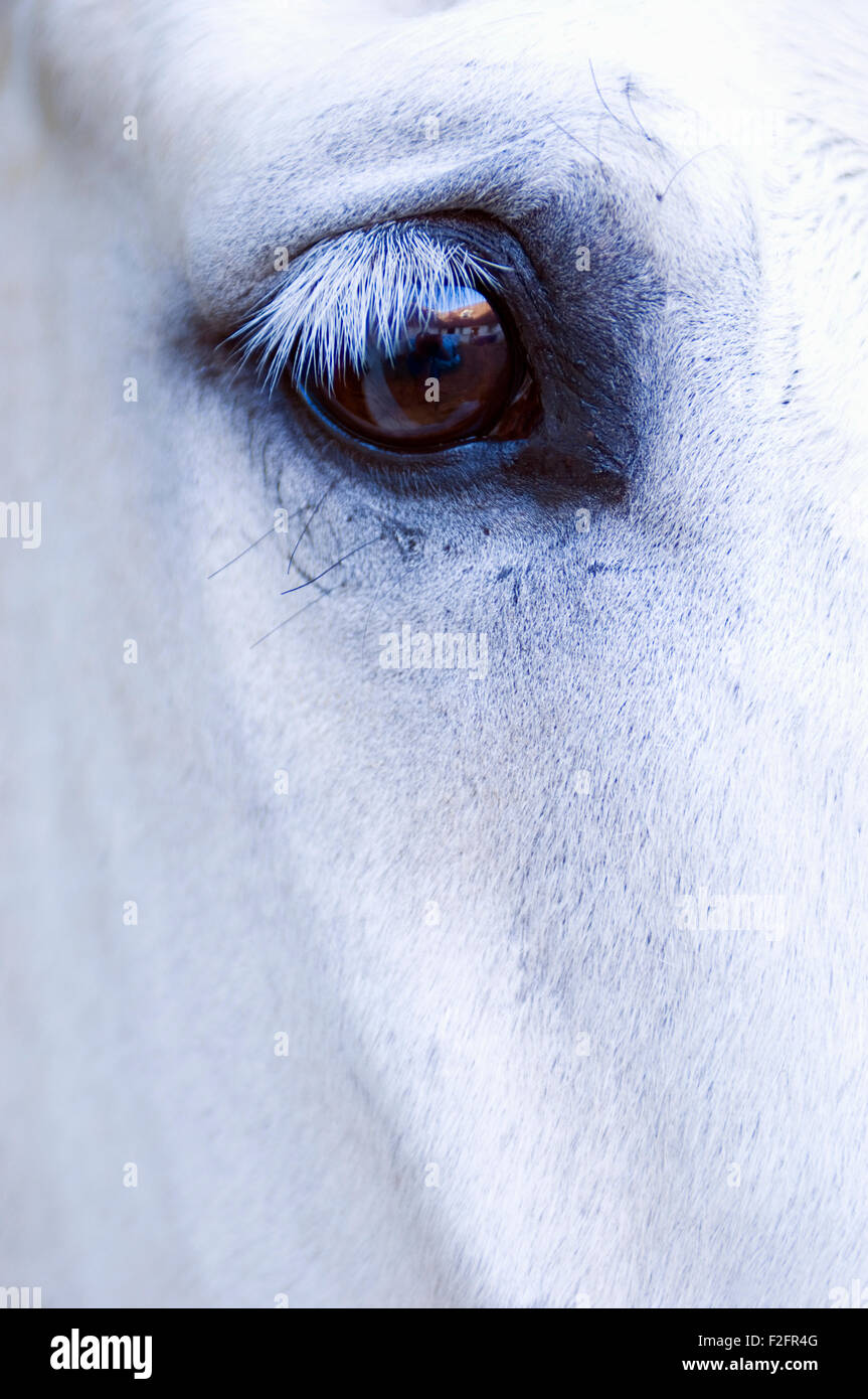 Detail Image Of A White Horse S Eye And Right Eye Region Stock Photo Alamy