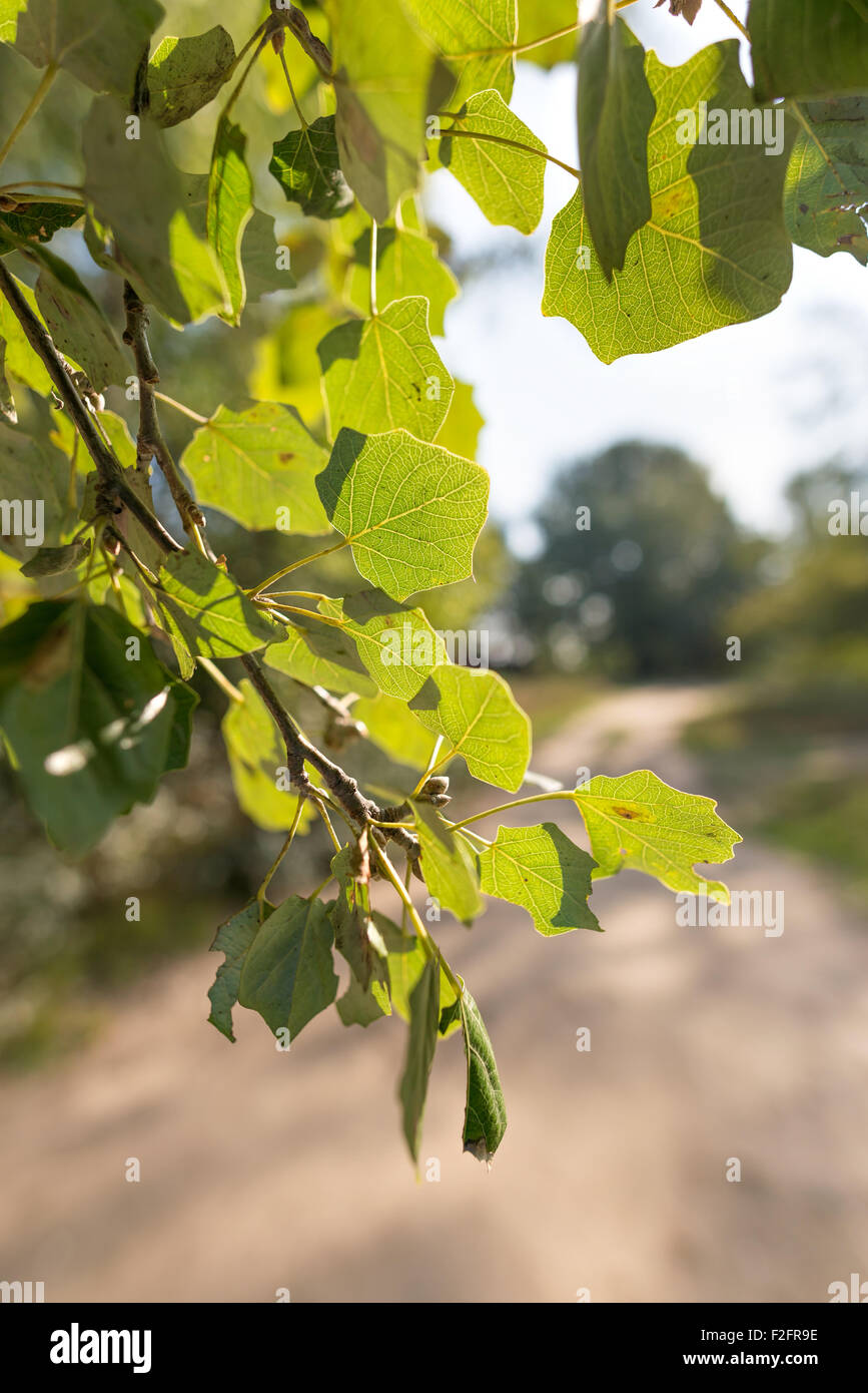 Backlit Popuplus Alba green transparent leaves, also called Poplar. The veins appear under the strong sunlight. - Stock Image