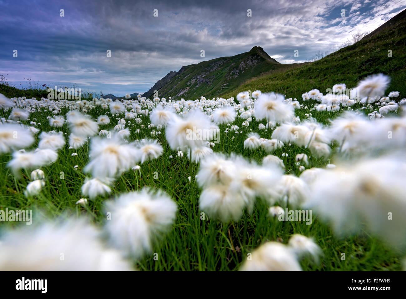 Scheuchzer's cottongrass (Eriophorum Scheuchzeri), Knappenkopf behind, 2071, Allgäu Alps, Allgäu, - Stock Image