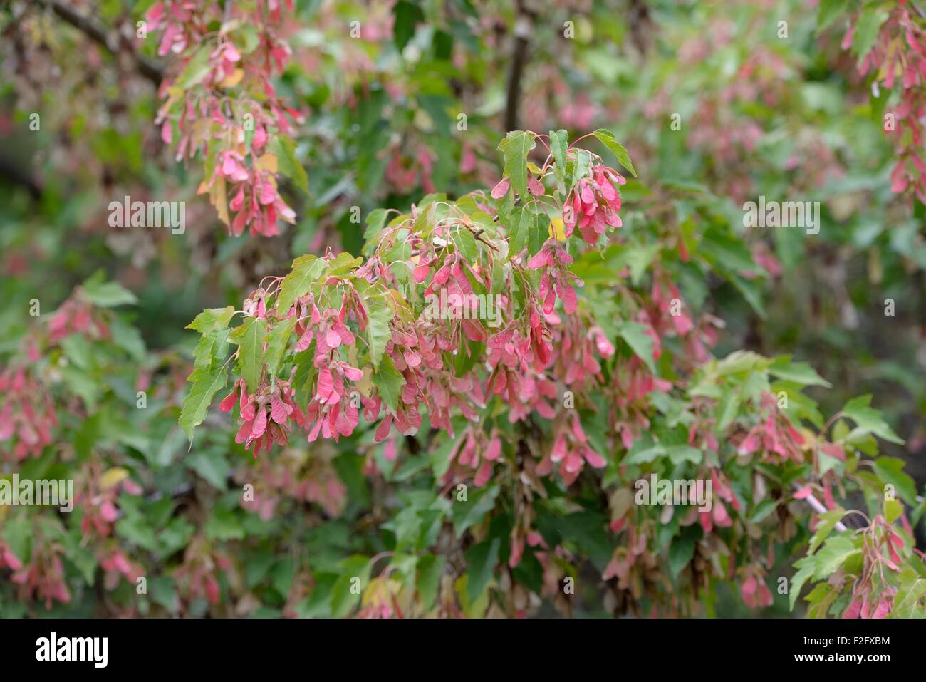 Reddish Pink Samaras Seeds And Green Leaves Hanging From A